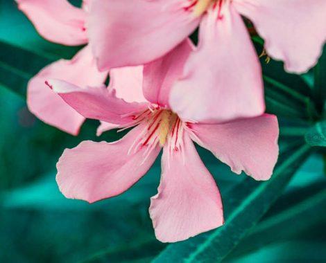 oleander-4338149_1920